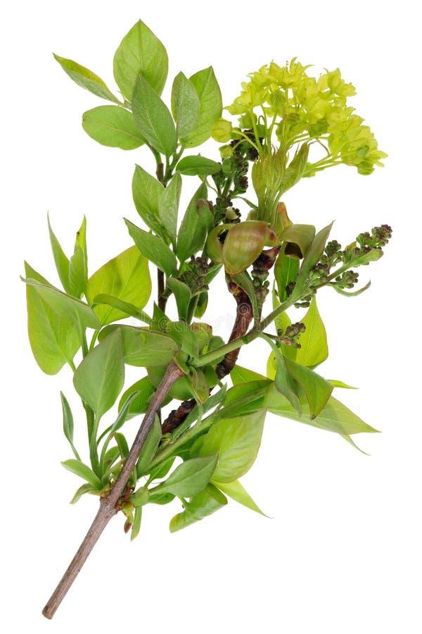 Um grupo dos galhos com folhas novas botões e flores da mola imagens de stock royalty free