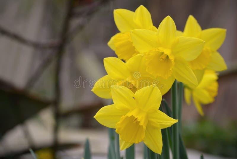 Um grupo dos narcisos amarelos imagens de stock