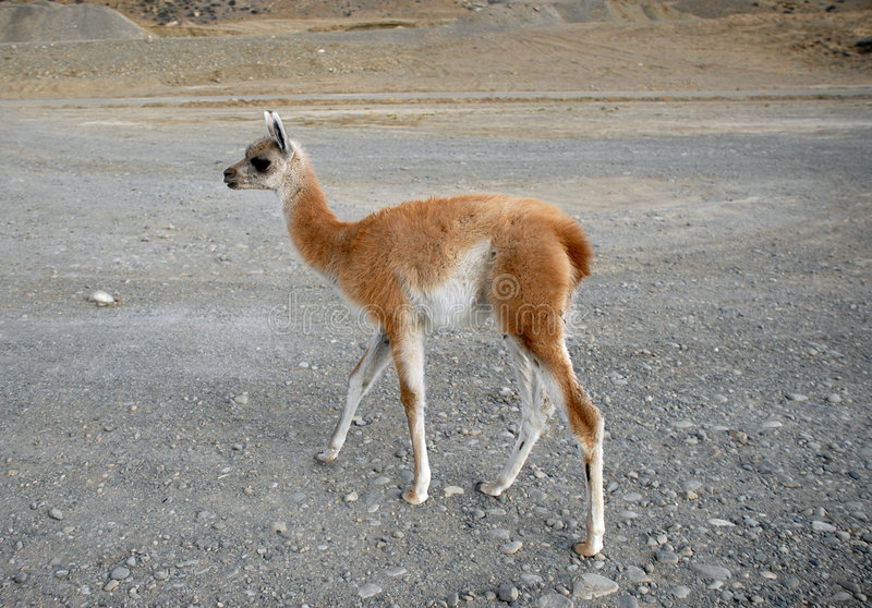 Um guanaco ereto do bebê fotografia de stock royalty free