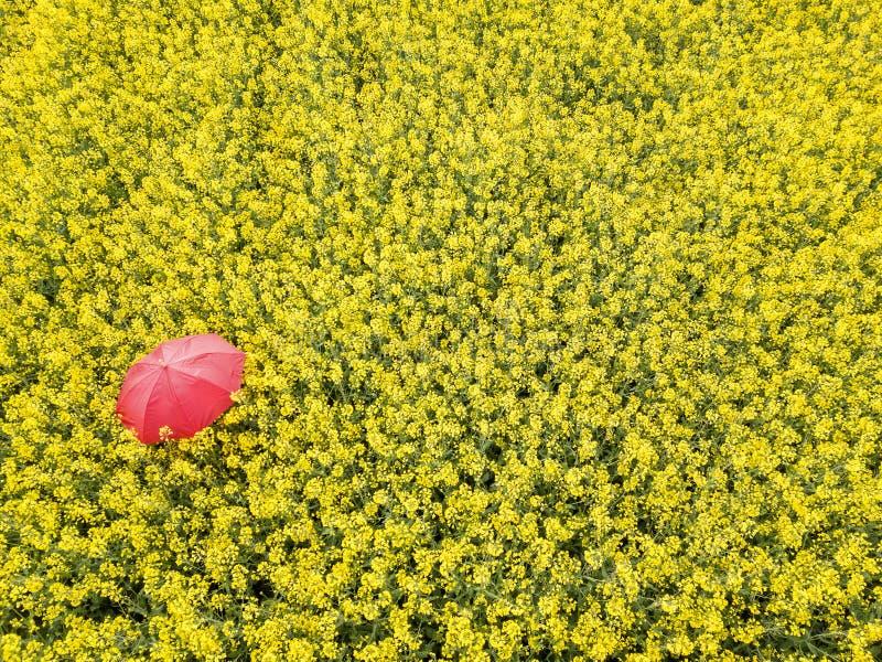 Um guarda-chuva vermelho entre o campo amarelo da violação fotos de stock