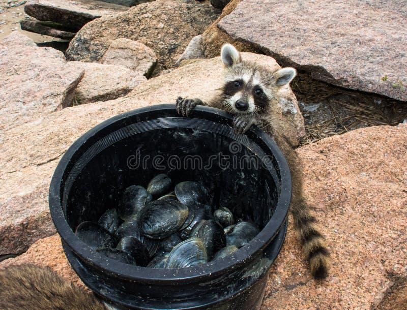 Um guaxinim com fome do bebê que olha em uma grande cubeta dos moluscos imagens de stock