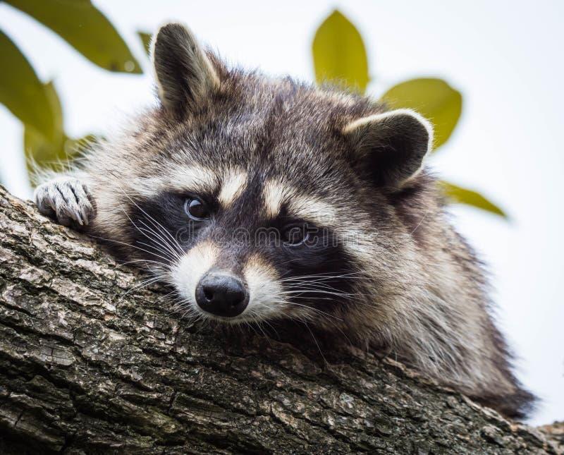 Um guaxinim que descansa em um ramo de árvore e que olha a câmera fotografia de stock royalty free