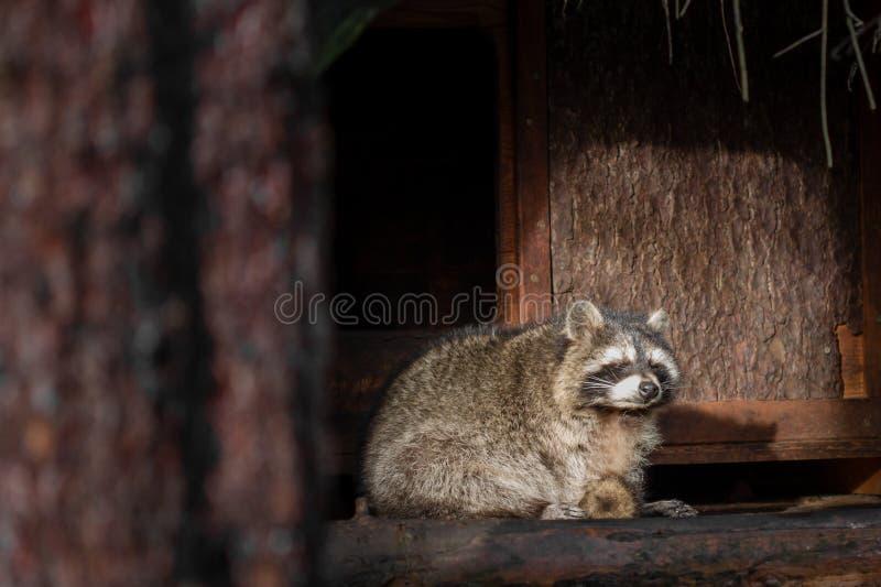 Um guaxinim que senta-se na frente de sua casa no sol fotos de stock royalty free