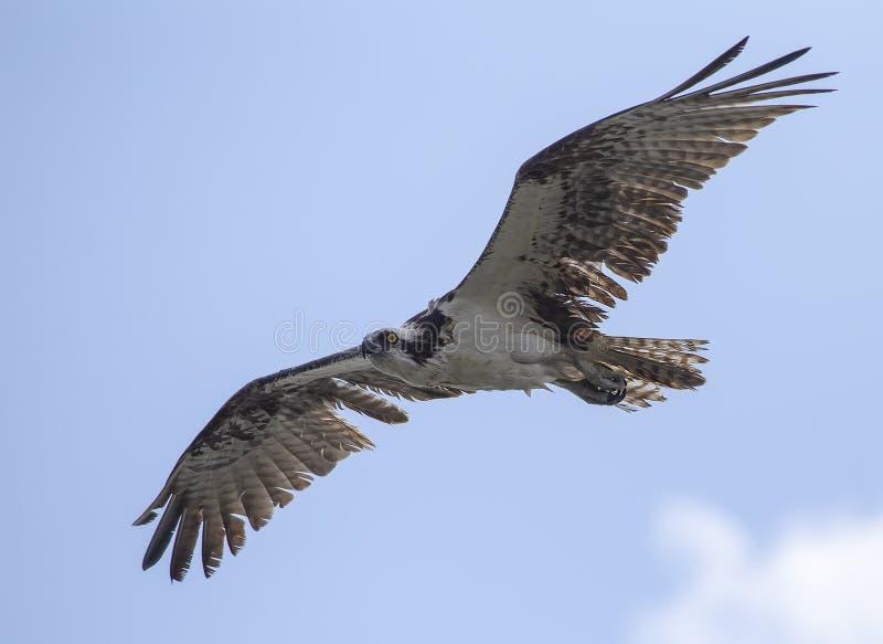 Um haliaetus norte-americano do Pandion da águia pescadora em voo fotos de stock