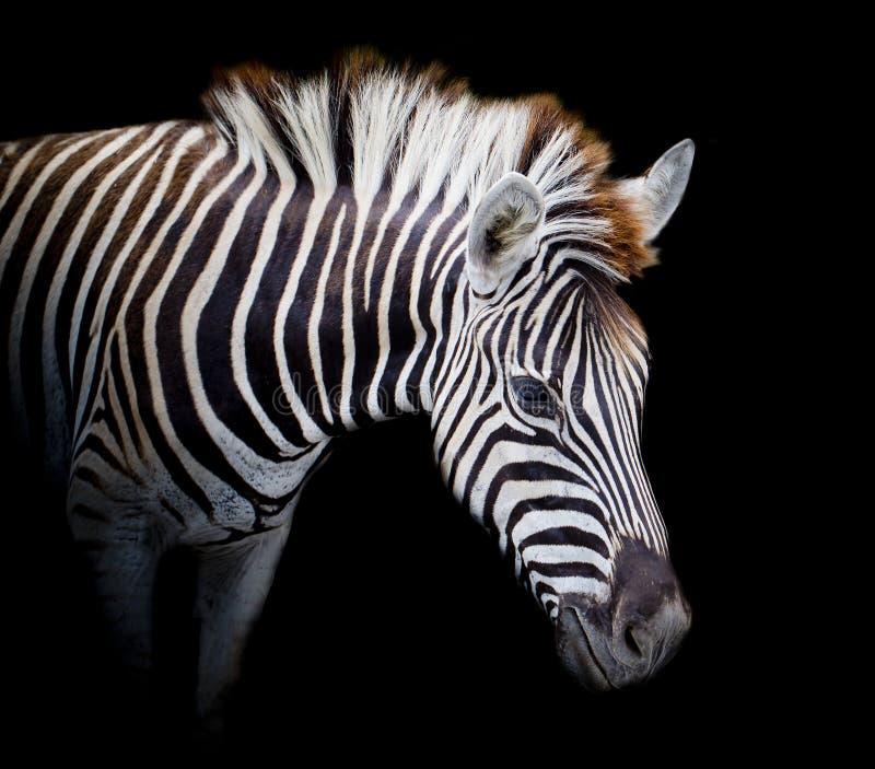 Um Headshot da zebra de um Burchell imagens de stock
