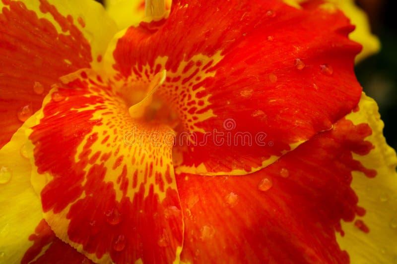 Um hibiscus floresce a roda em amarelo e alaranjado brilhantes fotos de stock
