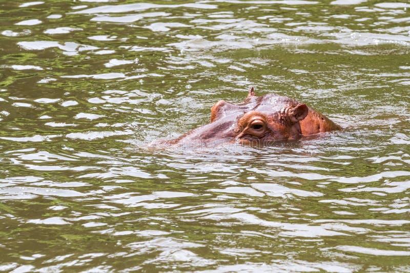 Um hipopótamo perigoso imagem de stock royalty free