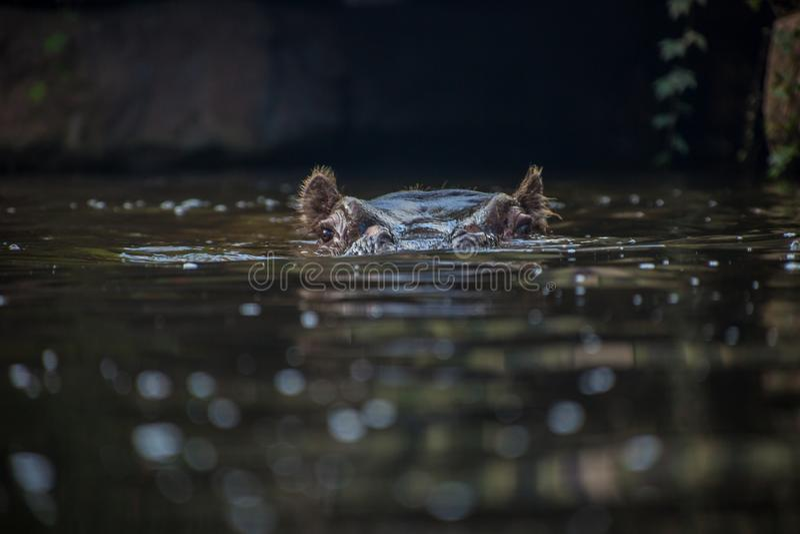 Um hipopótamo que levanta-se fora da água imagens de stock royalty free