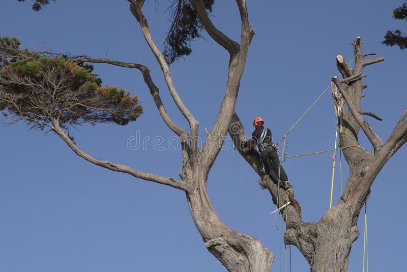 Um homem amarrado com uma corda corta os ramos de uma elevação da árvore acima fotos de stock royalty free