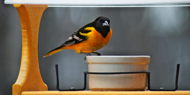 Um homem Baltimore Oriole em produzir a plumagem visita um alimentador do pássaro em Minnesota imagens de stock