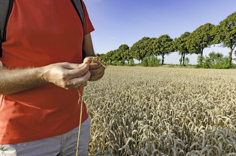 Um homem com uma orelha do trigo que está no campo fotografia de stock royalty free