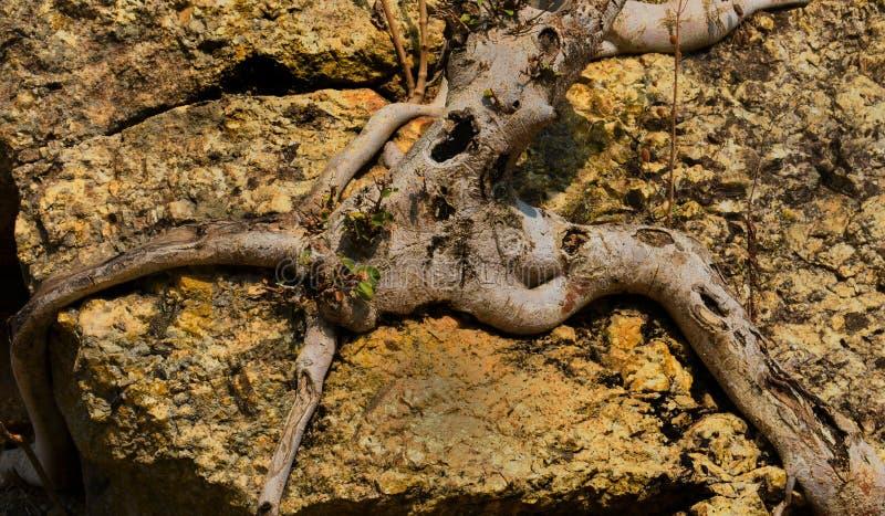um homem como abraços da árvore da estrutura uma rocha imagens de stock royalty free