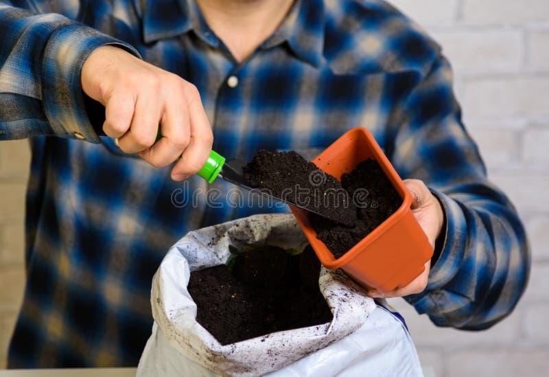 Um homem derrama o solo em um recipiente para plântulas foto de stock