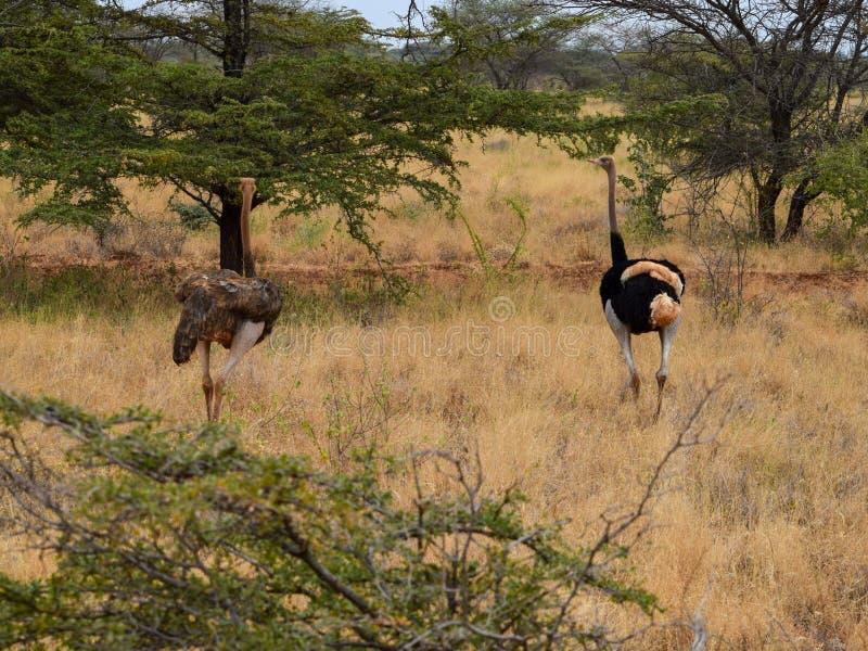 Um homem e uma avestruz fêmea no parque nacional de Meru, Kenya fotos de stock royalty free