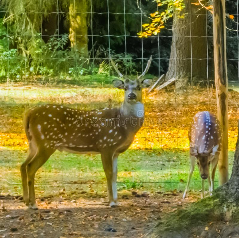 Um homem e uma fêmea, cervos manchados da linha central que estão junto por uma árvore imagem de stock royalty free