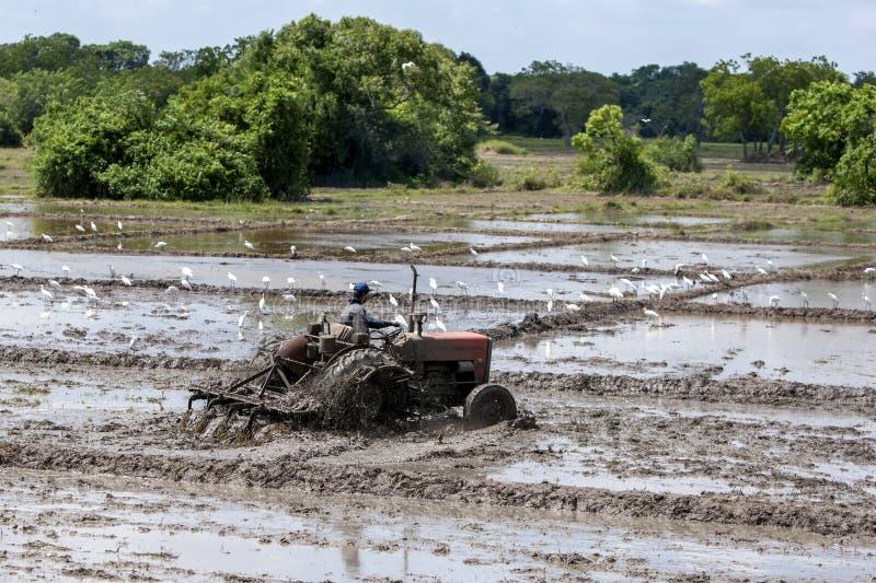 Um homem em um arroz ploughing do trator coloca ao norte de Anuradhapura em Sri Lanka foto de stock