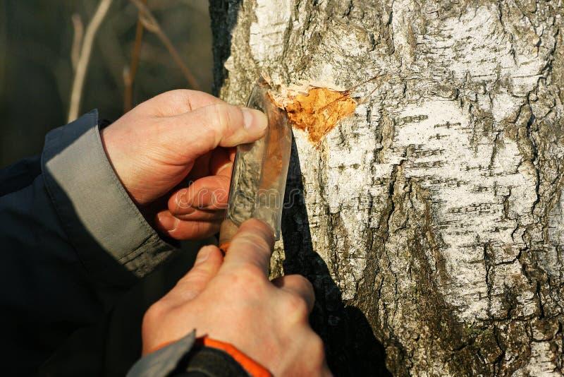 Um homem faz uma incisão no tronco de uma árvore de vidoeiro para gotejar o suco fotos de stock