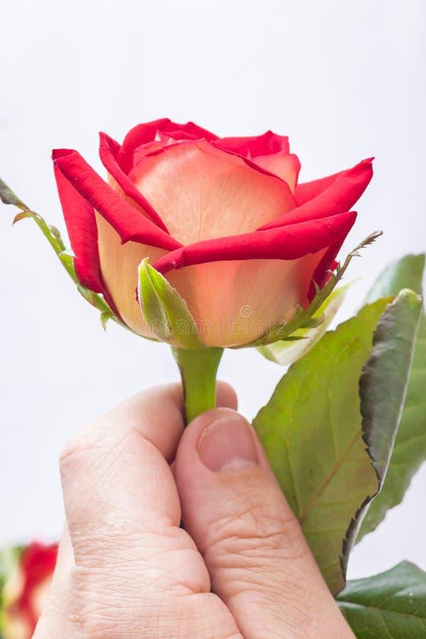 Um homem guarda uma rosa vermelha em sua mão Um presente a um woman_ bonito fotografia de stock royalty free