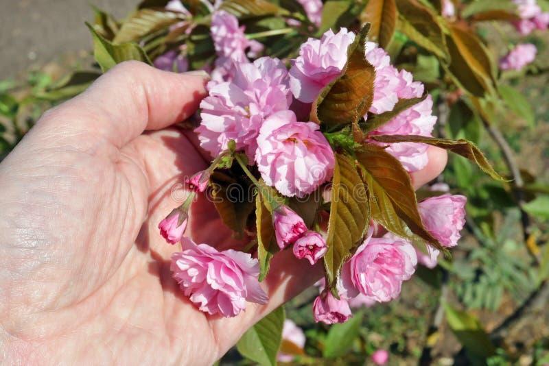Um homem idoso delicadamente para guardar à disposição flores primeiras de um rosa da mola da árvore de Sakura da cereja de Japão fotografia de stock royalty free