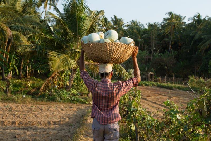 Um homem indiano leva uma cesta com as abóboras em sua cabeça Vila indiana foto de stock