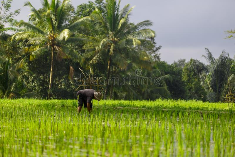 Um homem não identificado trabalha na plantação do arroz Arroz Te de Tegalalang fotos de stock