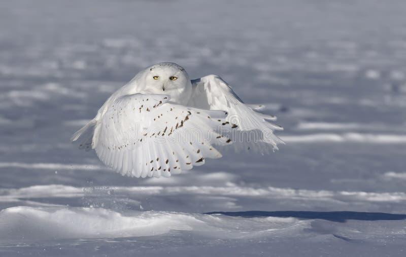 Um homem nevado da coruja que tira para caçar sobre um campo coberto de neve em Ottawa, Canadá imagens de stock royalty free