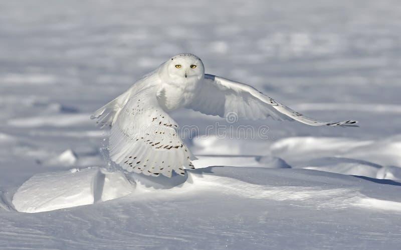 Um homem nevado da coruja que tira para ca?ar sobre um campo coberto de neve em Ottawa, Canad? foto de stock royalty free