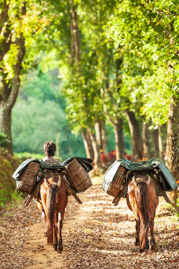 Um homem novo yunnanese com os dois cavalos marrons que levam as folhas de chá em cestas de vime em um caminho de plantações de c imagens de stock