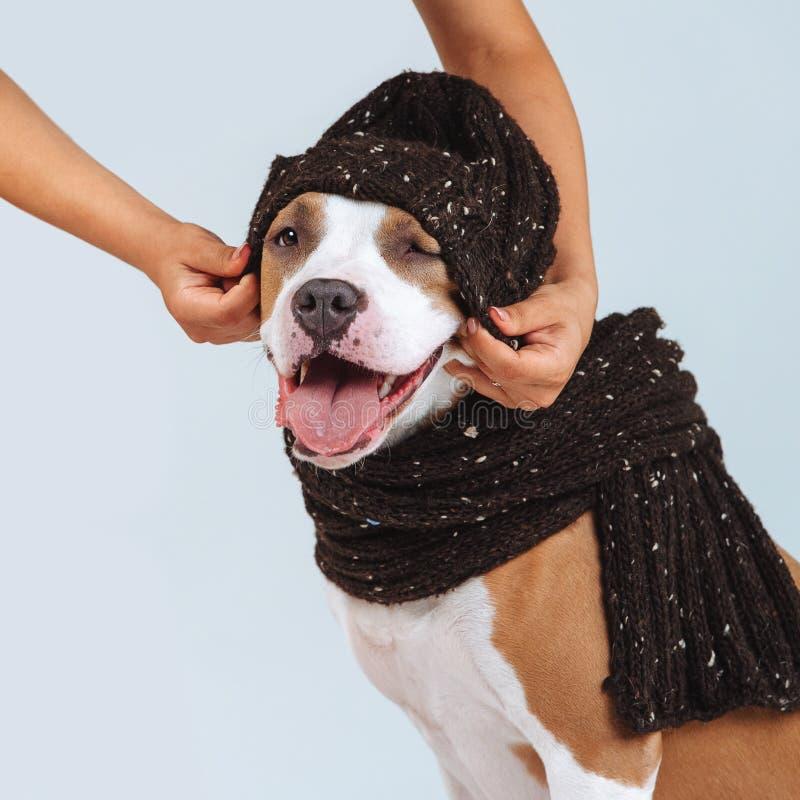 Um homem põe um chapéu sobre um cão Roupa para cães Homem que importa-se com um animal de estimação fotos de stock