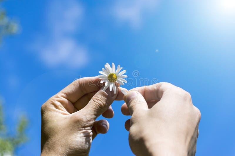 Um homem que guarda uma margarida em suas mãos O conceito da adivinhação, da sorte e do destino Manhã, verão, céus ensolarados imagem de stock