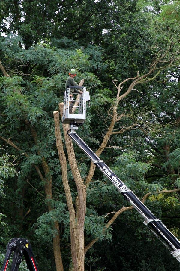 Um horticultor em uma máquina desbastadora da cereja está aparando uma árvore grande fotos de stock royalty free