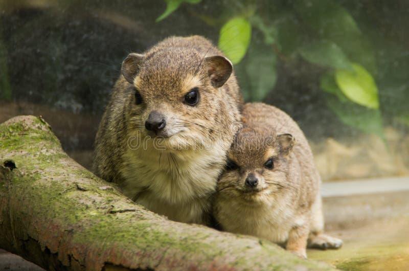 Um hyrax de rocha com jovens imagens de stock