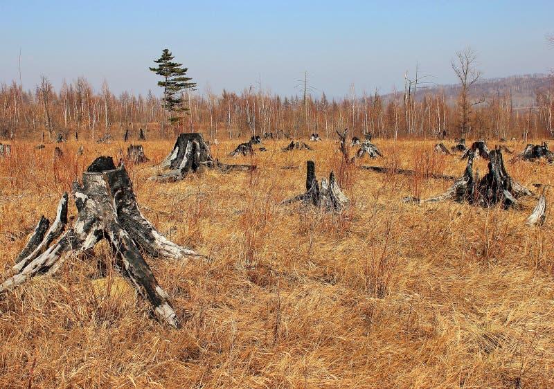 Um incêndio florestal queimou todas as árvores Cotoes queimados, área queimada Lugar para fora queimado na floresta que queima a  foto de stock royalty free