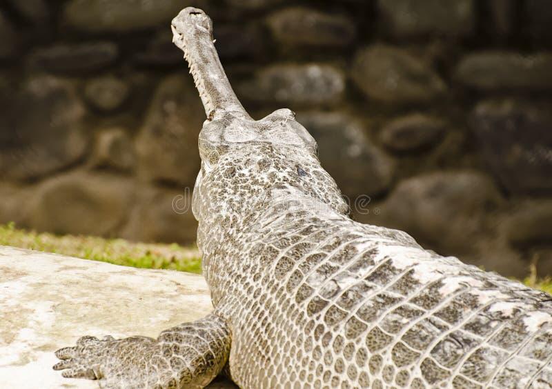 Um Indian gharial imagens de stock royalty free