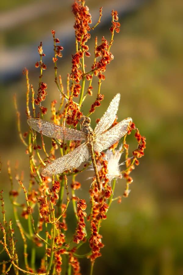 Um inseto bonito de um vulgatum de Sympetrum da libélula contra um fundo do fundo natural vegetativo verde toning fotos de stock royalty free