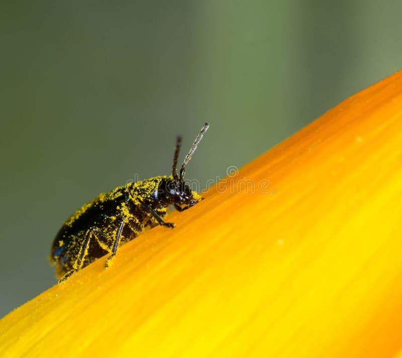 Um inseto pequeno do besouro coberto com o pólen amarelo está descansando em uma pétala de uma flor amarela imagem de stock royalty free