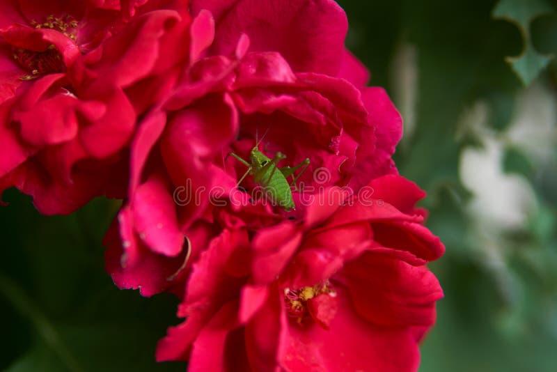 Um inseto verde do gafanhoto ou do grilo em um botão de um flo cor-de-rosa do chá foto de stock
