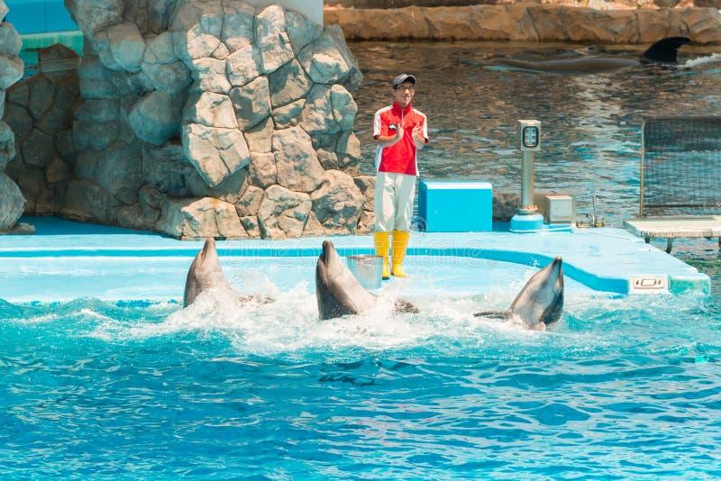 Um instrutor não identificado do homem está mostrando golfinhos enquanto executam foto de stock
