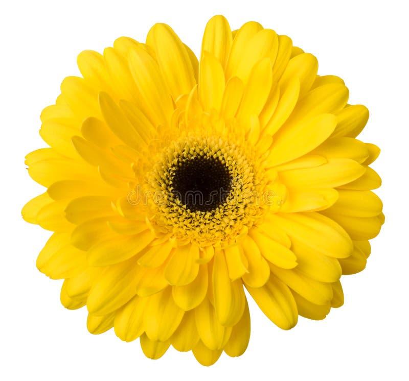 Um isolado de florescência da flor amarela brilhante vibrante da margarida do gerbera no fundo branco imagens de stock