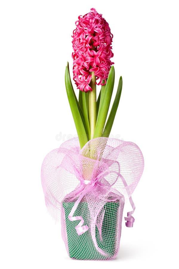 Download Jacinto bonito foto de stock. Imagem de bulbo, hyacinth - 29836196