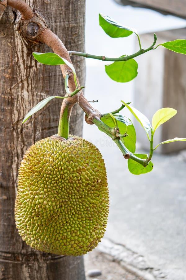 Um jackfruit na árvore de jackfruit foto de stock royalty free