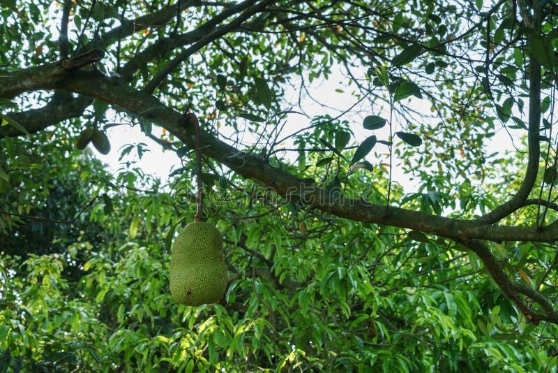 Um jackfruit na ?rvore de jackfruit foto de stock royalty free