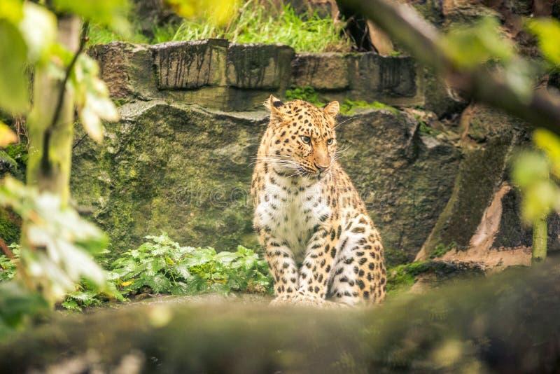 Um jaguar olha fixamente em um jardim zoológico em Escócia imagens de stock