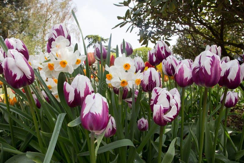 Um jardim bonito de tulipas e de narciso da mola fotografia de stock