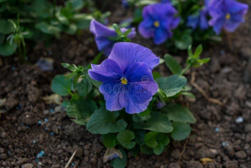 Um jardim com as flores azuis do vinca fotos de stock royalty free