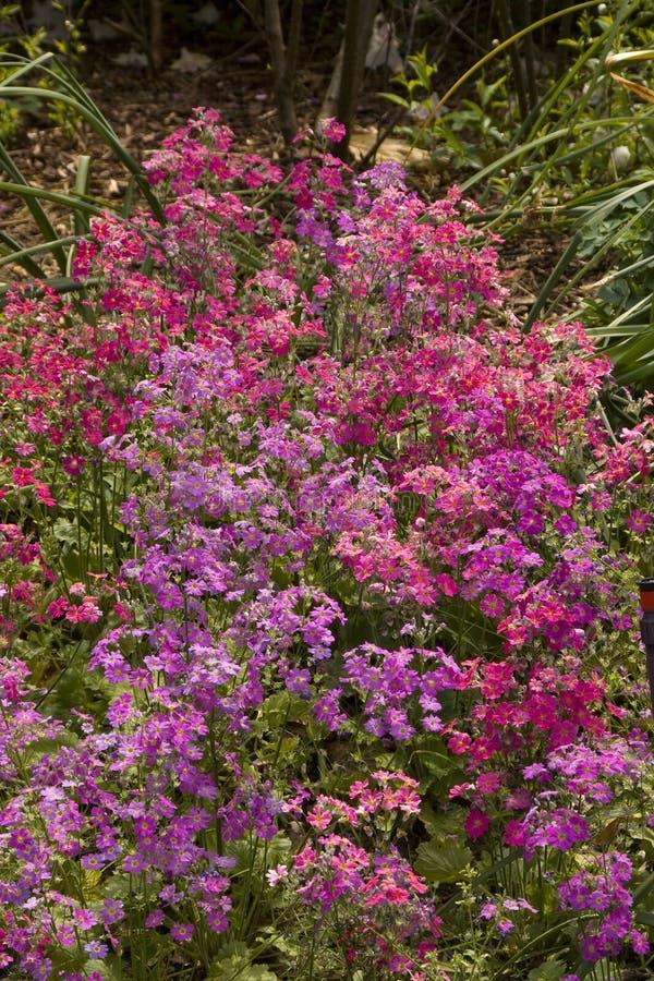 Um jardim completamente dos Primulas fotografia de stock royalty free