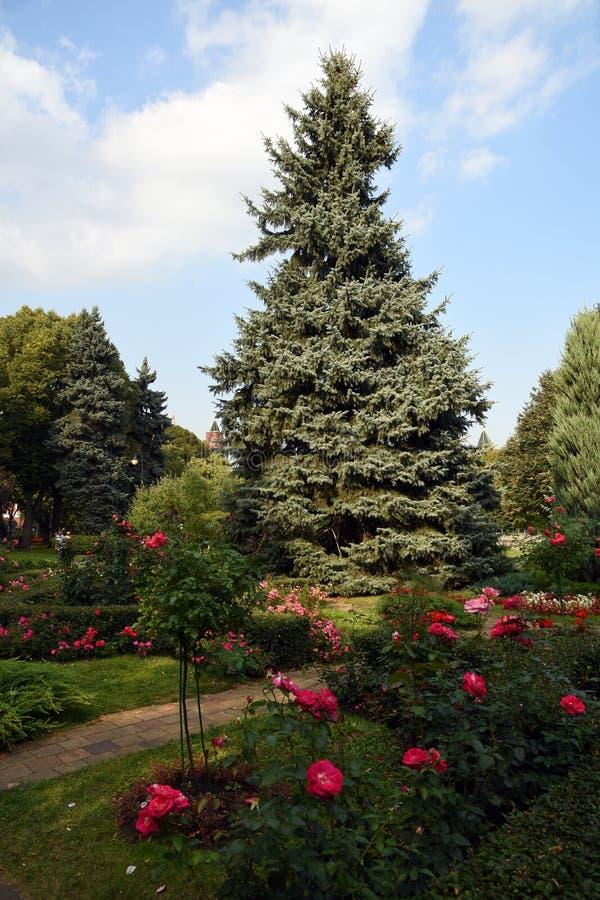 Um jardim no Kremlin de Moscou rosas de florescência fotos de stock royalty free