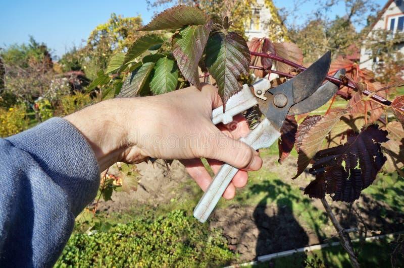 Um jardineiro idoso do homem corta ramos vermelhos desnecessários em um a fotos de stock