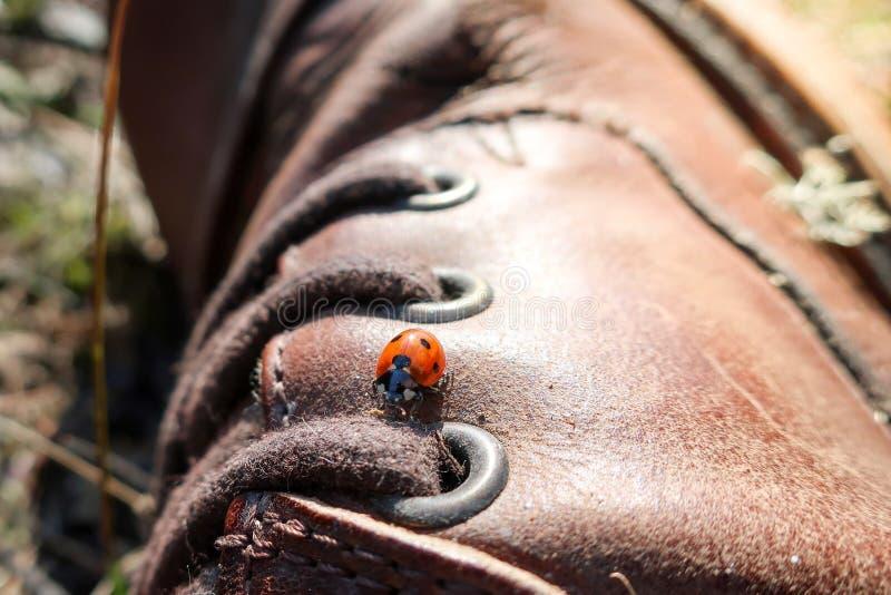 Um joaninha/joaninha pequenos anda em uma bota de couro marrom fotos de stock
