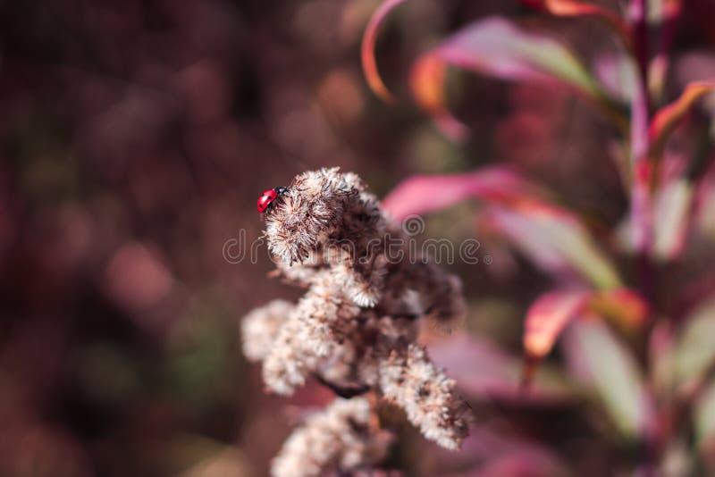 Um joaninha que senta-se em uma planta vermelha branca Grande fundo obscuro estalo, colorido, bonito, erro; imagem de stock royalty free